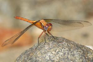 Dragonfly (Orthetrum azureum) by Azph