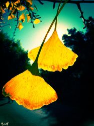 + Ginkgo in the sunlight by silentglaive