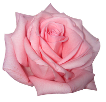 png pink rose by ForestGirlStock