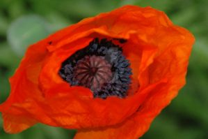 Center of A Poppy by MindfullyArtistic