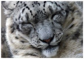 Snow Leopard 004 by ShineOverShadow