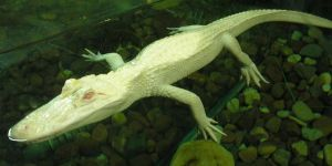 Albino Alligator by K8lynProverbs