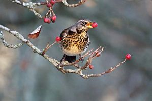 Fieldfare by impeachment