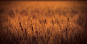 Wheat by MoonKey19