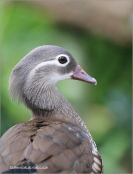 024- Female Mandarin duck by SilkenWinds