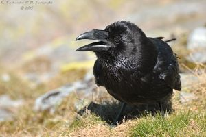 Corvus corax by Dark-Raptor