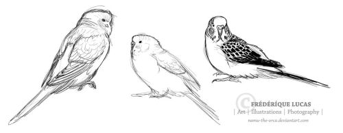 Budgie sketches by namu-the-orca