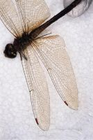 Dragonfly Wings by nighthawk101stock