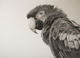 Macaw by graphitemyers