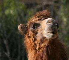 Camel portrait by MorganeS-Photographe