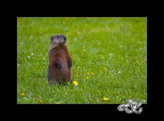 Woodchuck : At Attention by minainerz