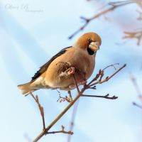 Coccothraustes coccothraustes by OliverBPhotography