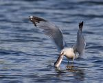Gull-n-fish by JestePhotography