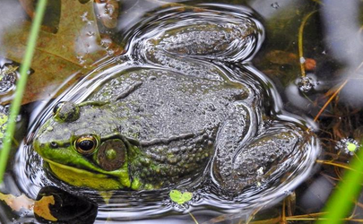 Northern Green Frog 001 by Elluka-brendmer