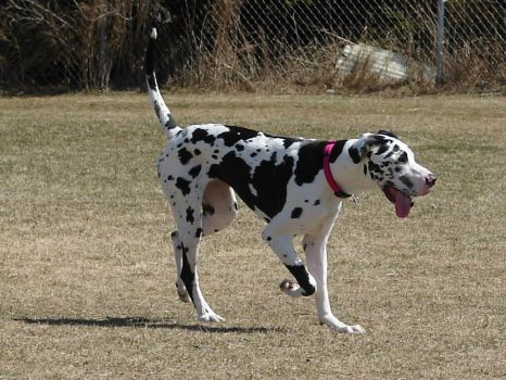 Black + White Great Dane 2 by FantasyStock