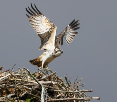 Juvenile Osprey by NurturingNaturesGift