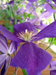 Purple Clematis Flower by hotrats51