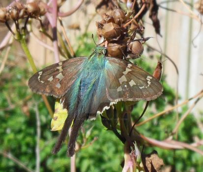Long-Tailed Skipper and Morning Glory Seeds by evil0verlady