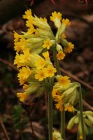 Cowslips by handtoeye