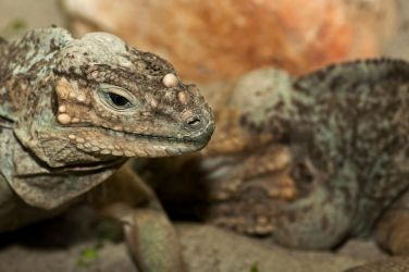 Tropical iguanas by PeterTakacs