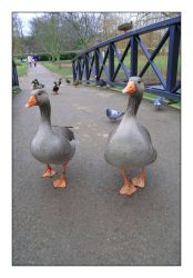 the ducks look plastic. by limpsharp