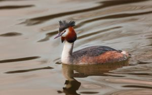 Great Crested Grebe by snomanda