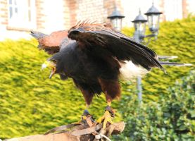 Harris Hawk Stock 13 by LRG-Photography