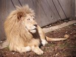 White Lion Stock 7 by HOTNStock