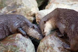 Otters by thea1990