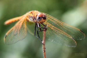 Libellula by klapouch
