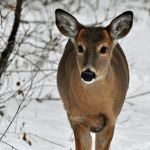 Young buck by masscreation