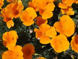 BFC Weekend: CalGolden Poppies by Destiny-Carter