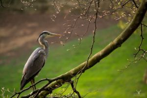 Grey Heron by Lady---Vengeance