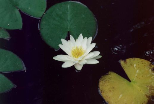 Water lily by ManicMechE