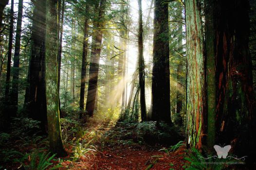 Redwood Morning by FreeSpiritFotography