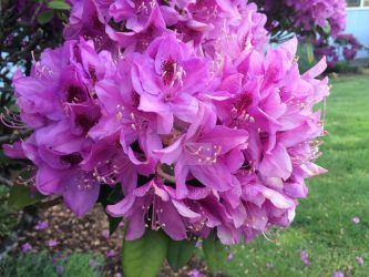 Some rhododendron by snoogaloo
