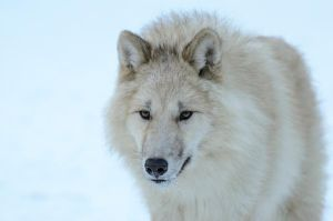 Arctic Wolves XIII by White-Voodoo