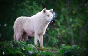 Artic Wolf by MikeFShaw