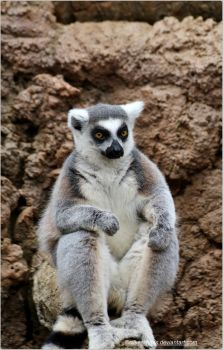 012- Ring-tailed Lemur by SilkenWinds