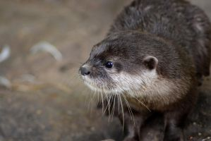 Small-Clawed Otter by Misteriel