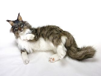 Realistic life size Maine coon cat RAMBO by KALEideaSCOPE