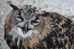 Eagle owl by kschenk