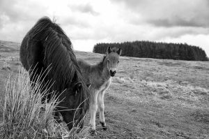 Dartmoor Ponies by LuxLucie