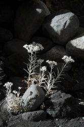 White Flowers bw by marman44