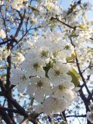 Cherry flowers by Allexiiale