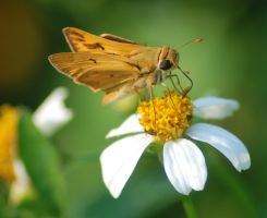Fiery Skipper on Flower by Larah88