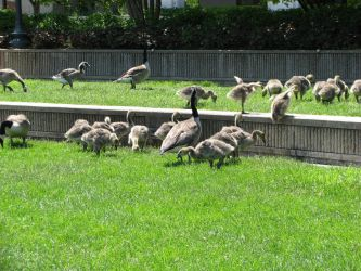 A Gaggle of Geese by RobMitchem