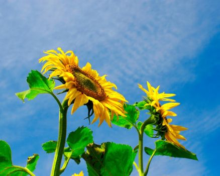 sunflower kiss the sky by horstklinker
