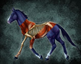 Equine Anatomy Study (layers available) by Rainbow-Foxy
