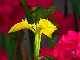 Yellow And Pink Flowers by wolfwings1